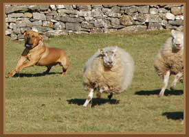 How To Stop My Dog Running After Sheep